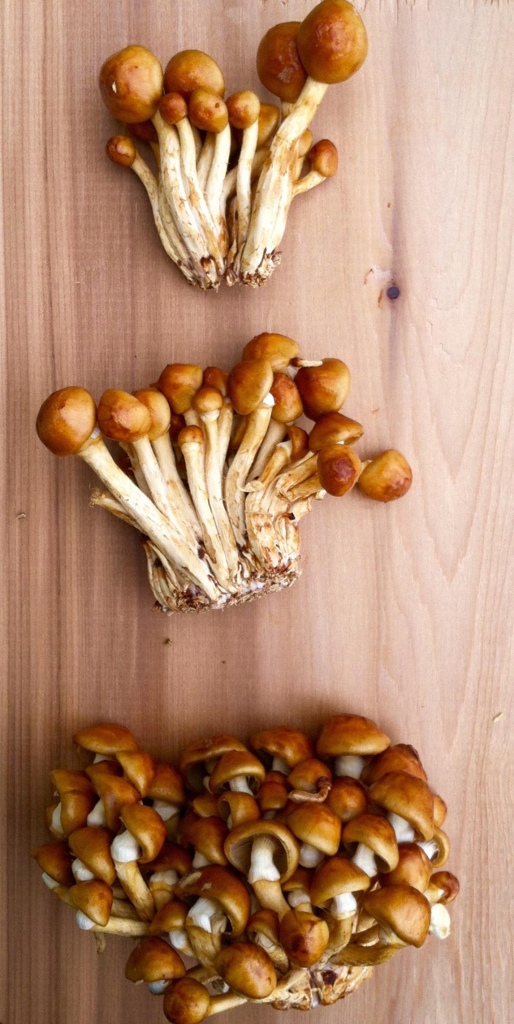 honey mushroom 4