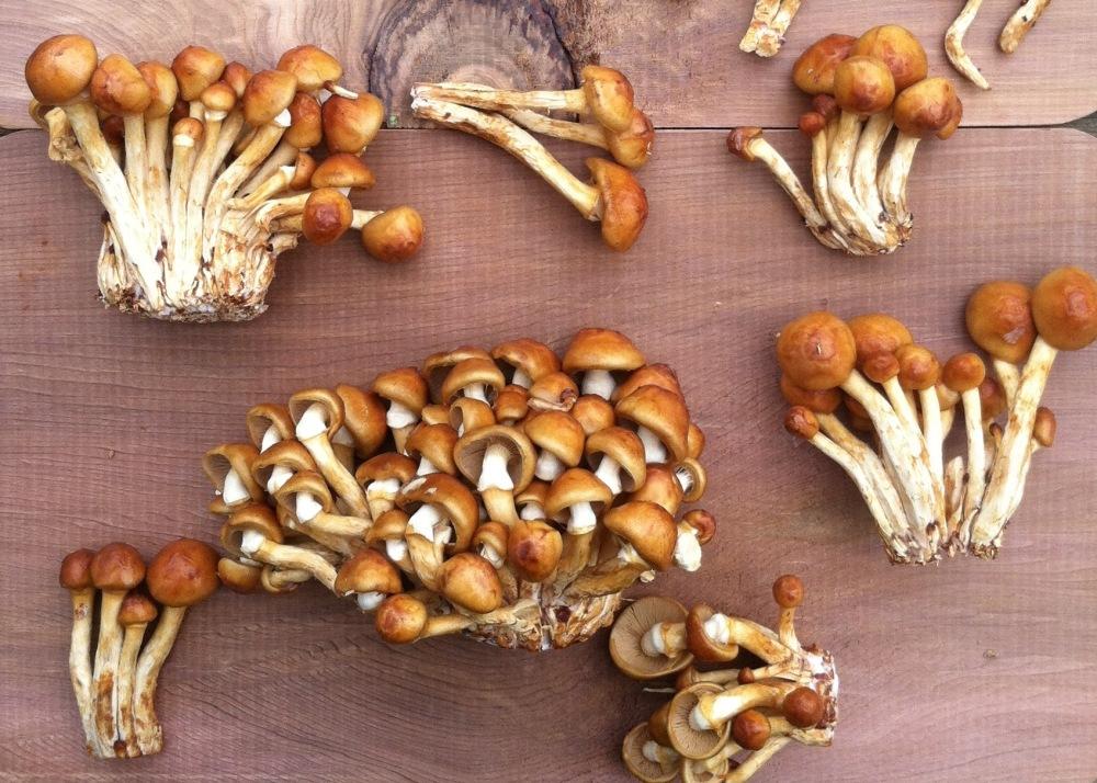 honey mushroom 5