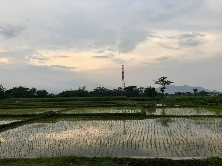 rice paddy kediri