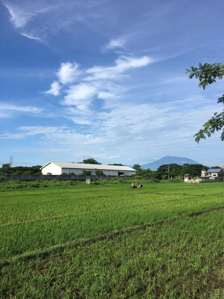 madiun rice paddies