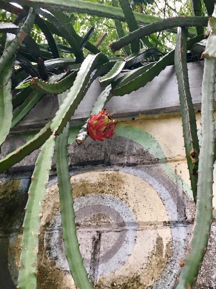 buah naga 3