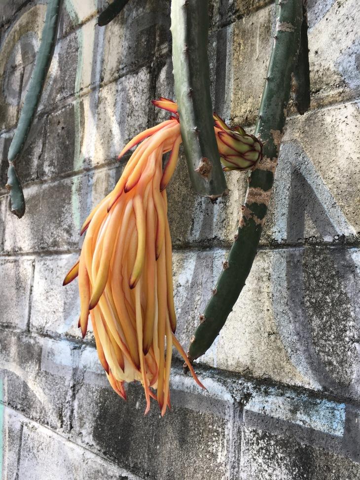 buah naga2
