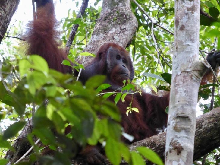 male orangutan cheeks 2