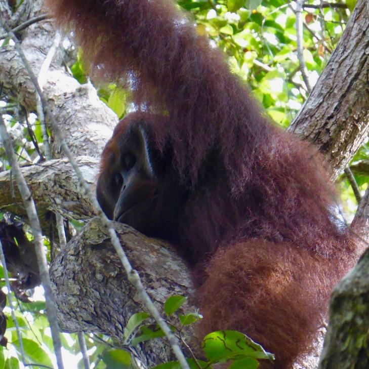 male orangutan cheeks 3