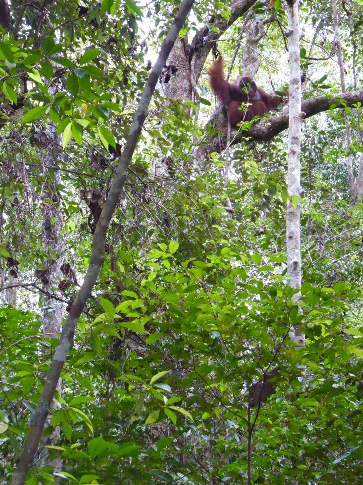 male orangutan cheeks