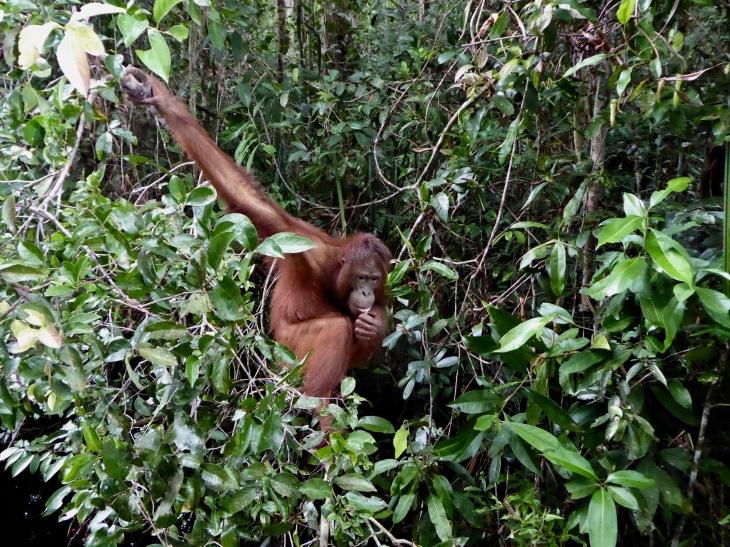 Orangutan in Tanjung Puting Borneo